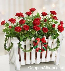 Christmas Rose Garden